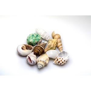 Piezas de Conchas Marinas